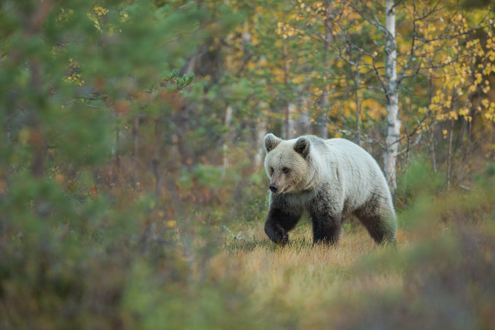 Autumn Brown Bear Trip.jpg