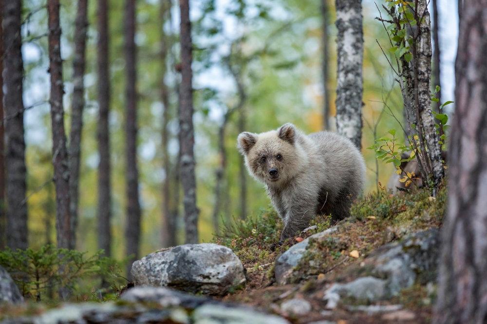 Bear_Cub_Forest_0T2A8748-3.jpg