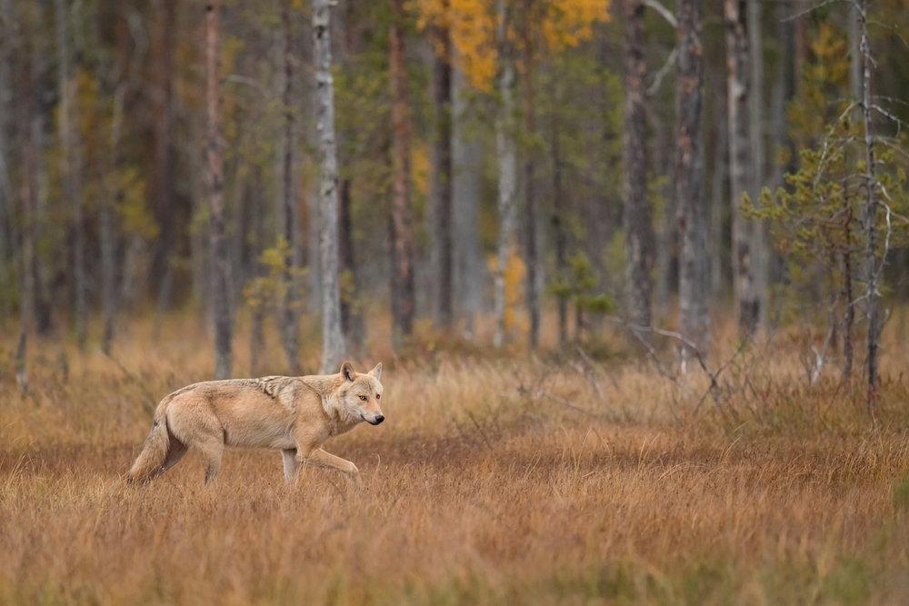 Crop_Wolf_MG_9527.jpg