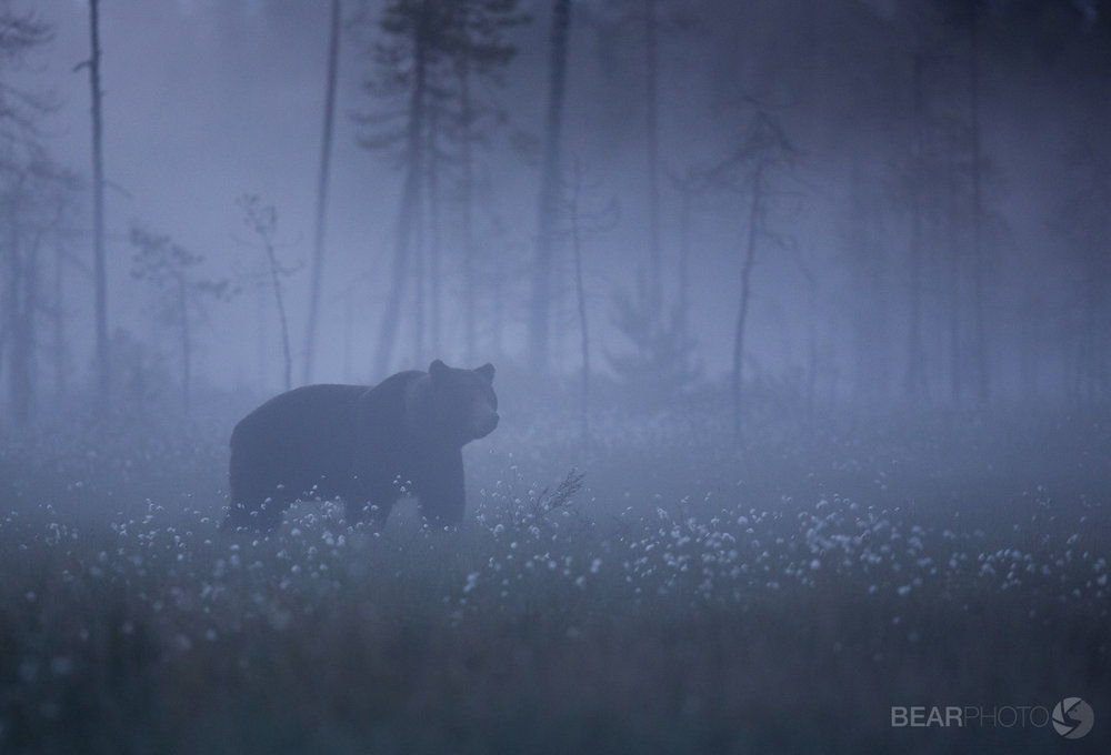 A large male Brown Bear emerges onto the swamp amongst the cottongrass in a ghostly twilight.