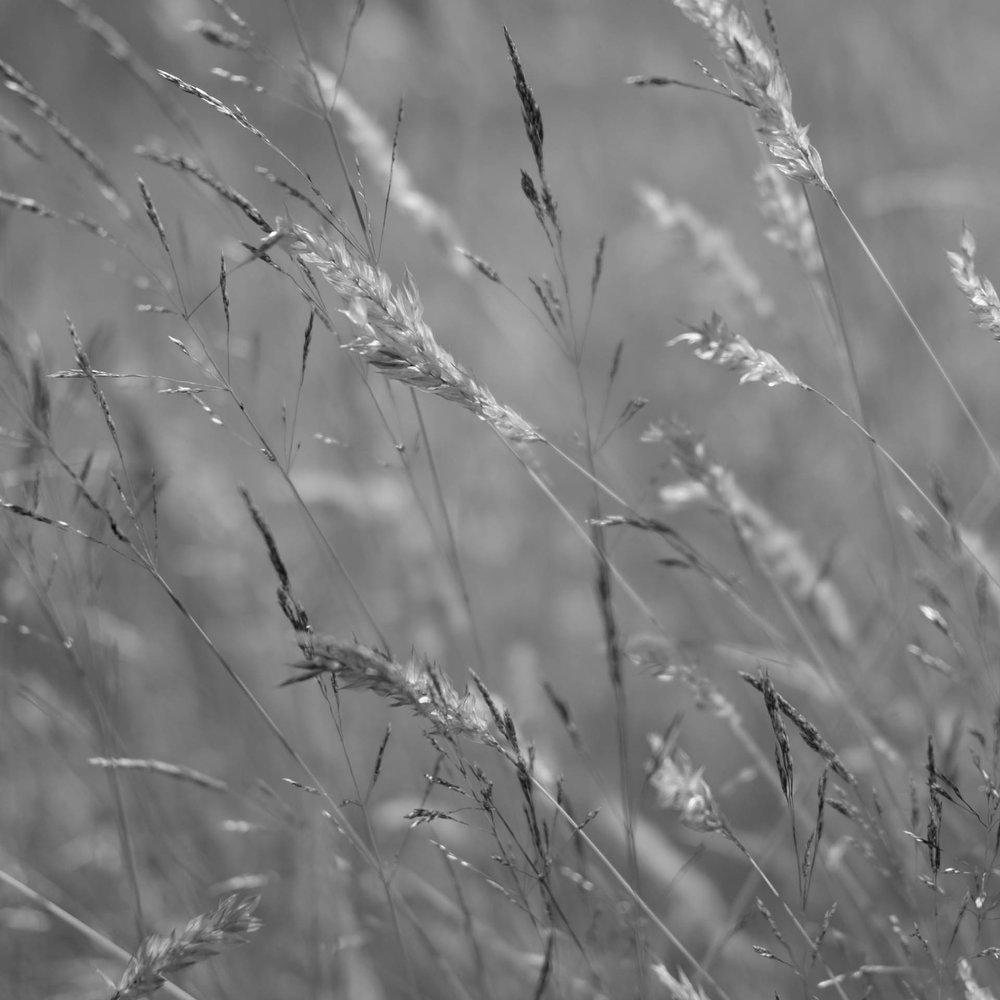 Grasses, Fuji XT-1, 35mm f2.2, 1/4000s
