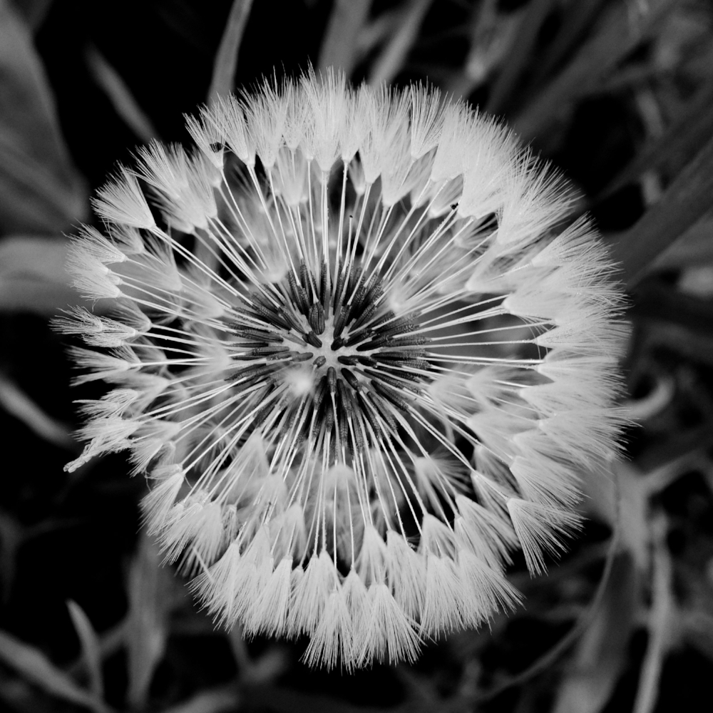 Imperfect Dandelion - Fuji X70