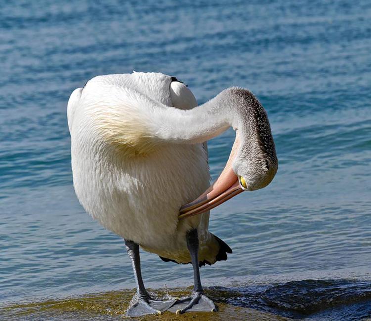 Preening Pelican by Jane Blayney