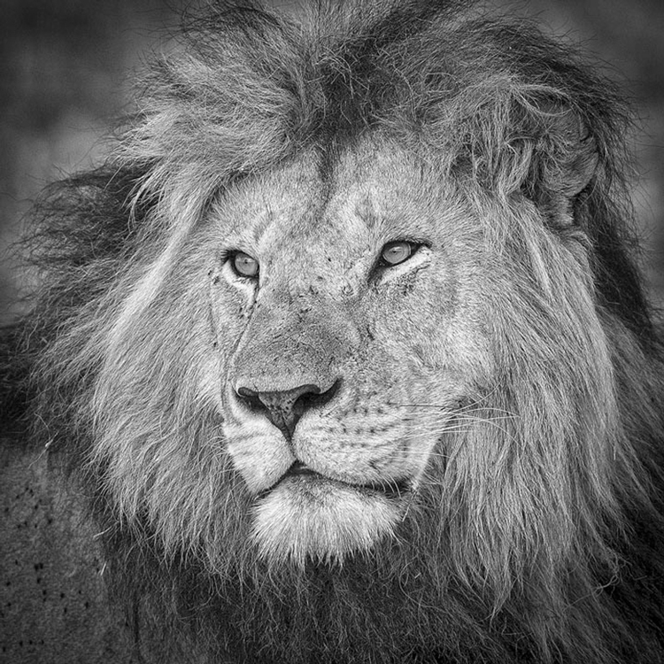 Lion Portrait by Richard Kish