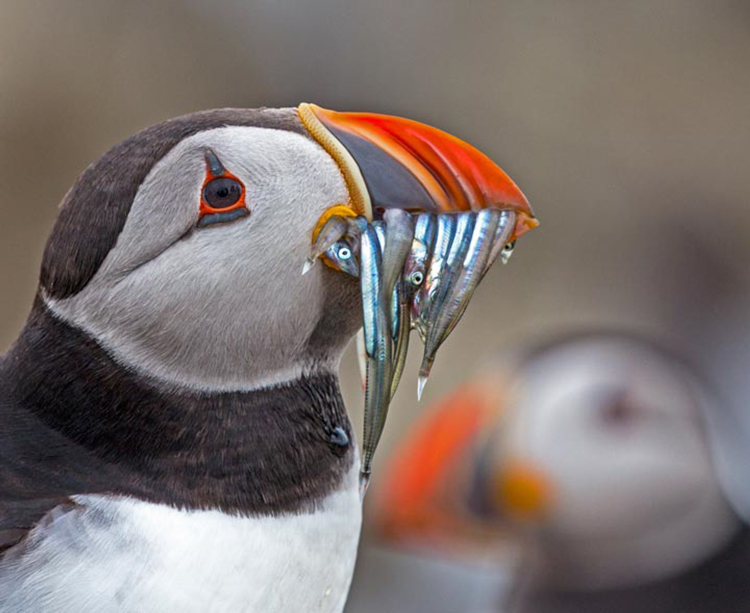 Atlantic Puffin by Robert Chandler
