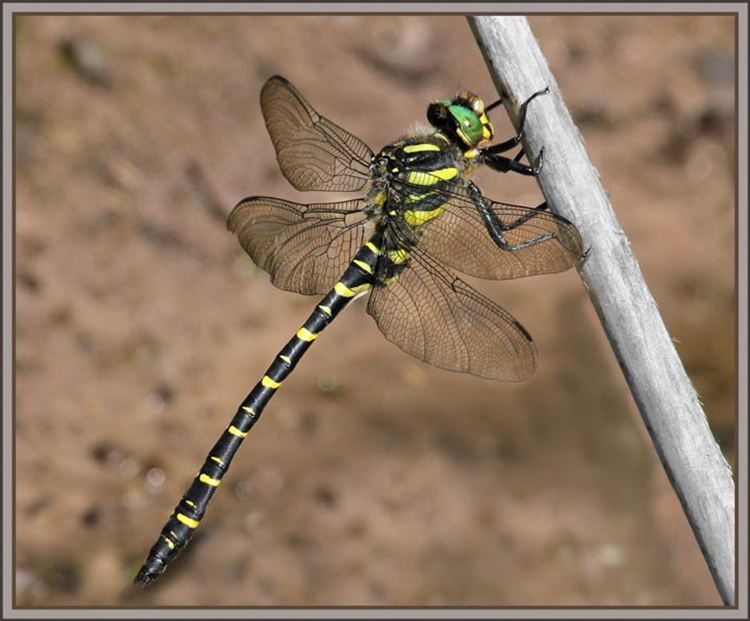 Golden Ringed Dragonfly by Sophia Morgans