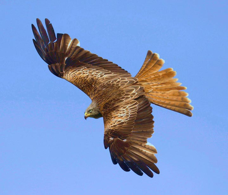 Red Kite over Harewood by Harry Marcroft