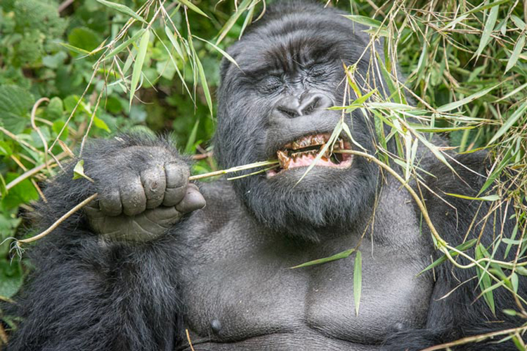 Gorilla Eating Bamboo by Richard Kish