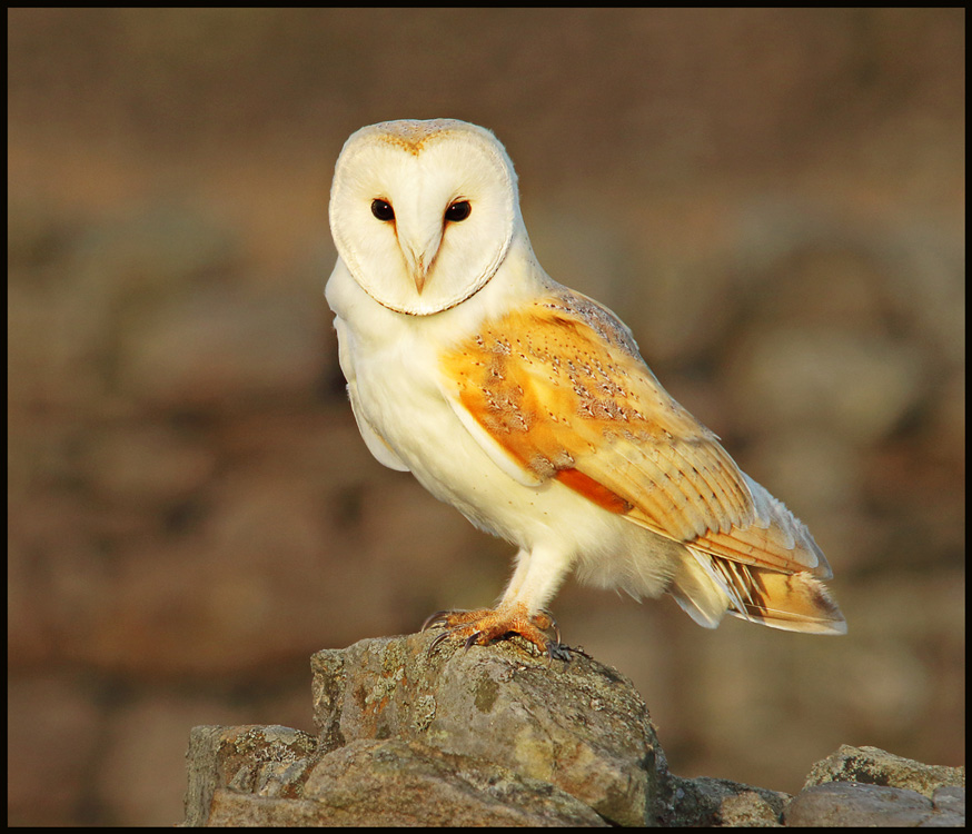 Wild Barn Owl by Kelvin Smith