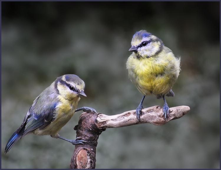 Juvenile Blue Tits by Sophia Morgans
