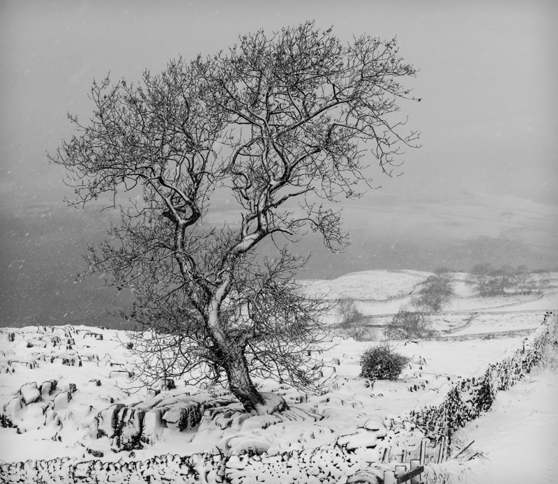 Lone Tree in Blizzard, Yorkshire Dales