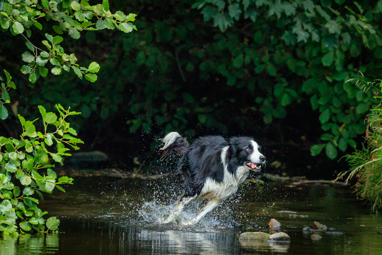 Working Collie