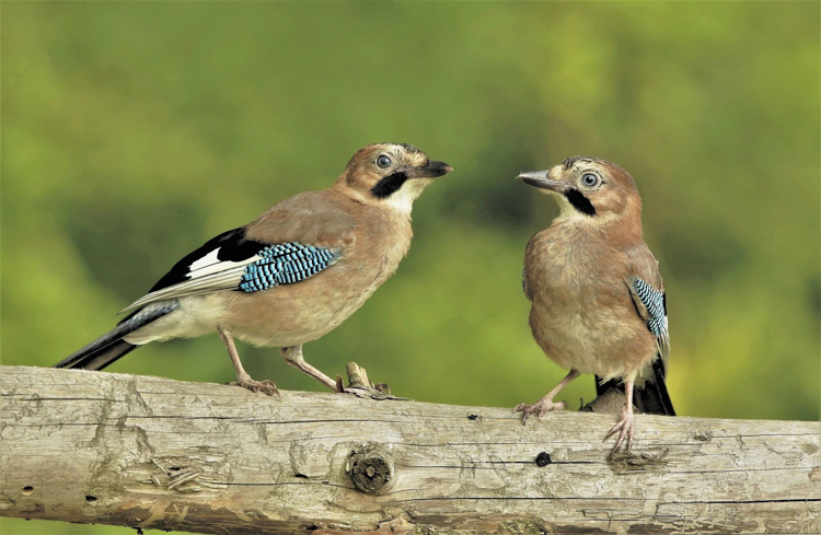 Jays by Harry Marcroft
