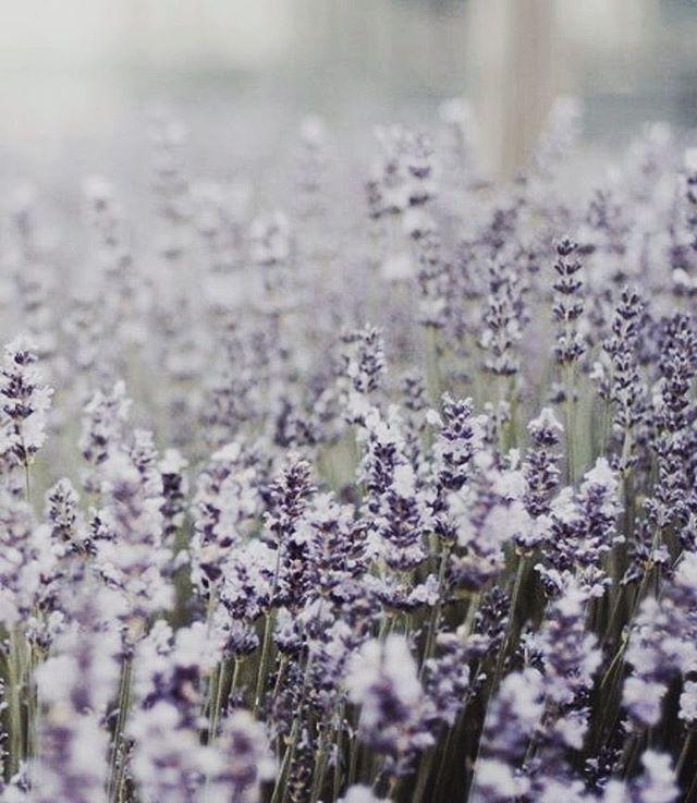 "Lavender, The Calm Scent of Sleep 💭 You can order your own ""Eau de Nuit"" Lavender Body & Bedroom Mist online: www.cestlanuit.com 👈🏼"