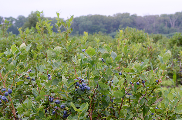 local-blueberry-farm-600.jpg
