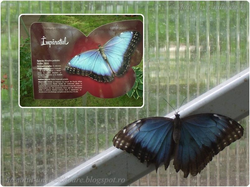 Ei sunt cei mai mulți, dar și cel mai greu de prins într-o poză cu aripile deschise.