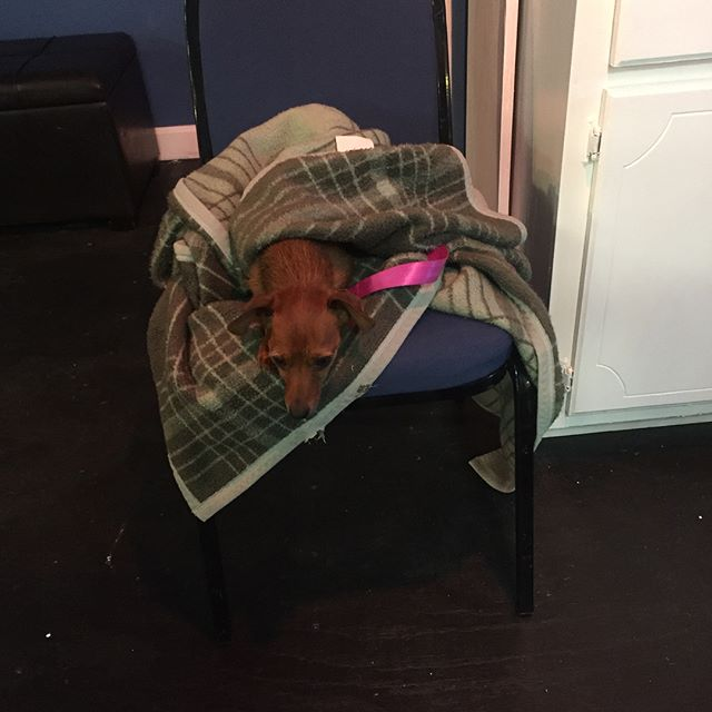 """What? I didn't come here to work."" . . ""'night, Mother"" plays July 26-28 and Aug 2-4 at 8:00 pm. Buy your tickets on the website. Link in bio. . . #theatrelife #theatredog #instadog #dogsofinstagram #nap #blanket #goodboy #nightmother #company11theatre"