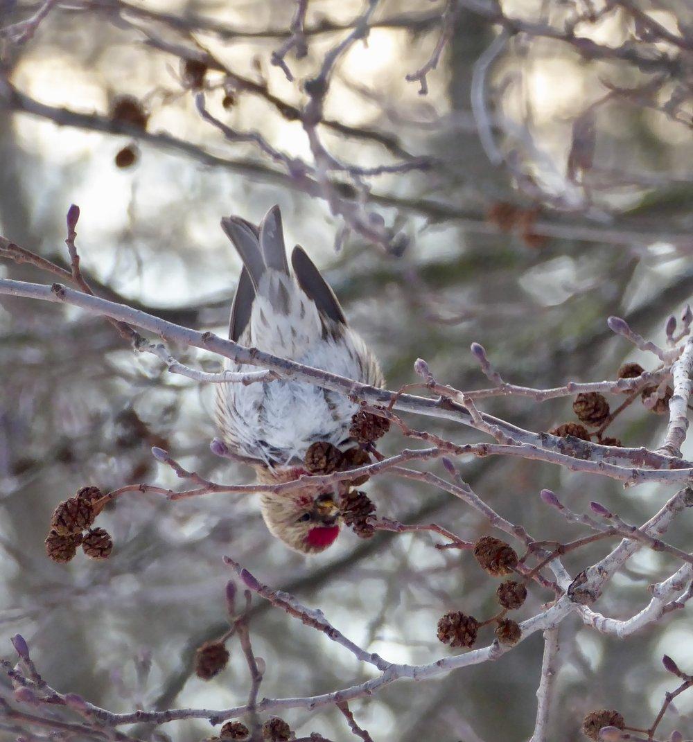 Njut av årstidernas växlingar på det sköna Djurgården! På bilden, en gråsiska som födosöker om vintern.