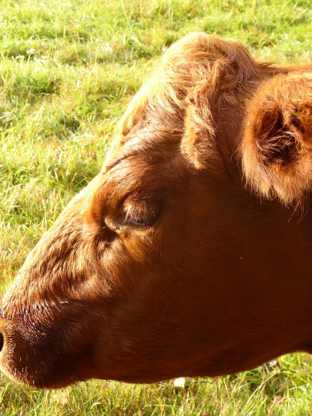 Rödkulla ko