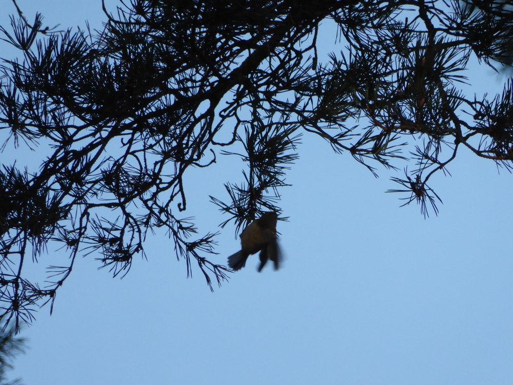 Kungsfågel födosöker. Foto: Jenny Rosen, Djurgårdens Ekolyx
