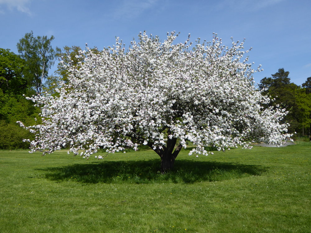 Äppelträd. Foto: Jenny Rosen, Djurgårdens Ekolyx.
