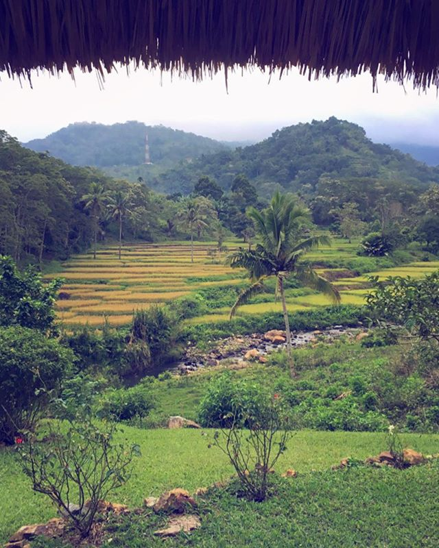 Rice fields in Flores, Indonesia