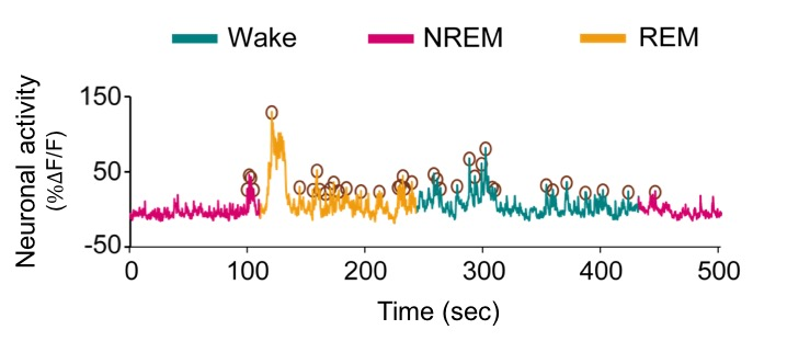Simultaneous EEG/EMG and fiber photometry recordings during different arousal states