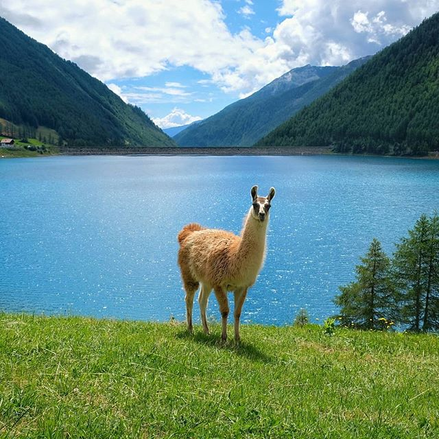 Say hello to this cutie! Before leaving South Tyrol yesterday I was at Lago di Vernago. One can go all the way around the lake and eventually spot llamas! :) 🔸Italy  #tonicofwildness #llama #llamas #hello #animals #animallover #southtyrol #italy #italia #lagodivernago #stausee #bluewater #sunnyday #momentstoremember #happyme #simplethings #roadtrip #mountainstones #alpen #inthemountains #lookatme #lama #instamoments #goodtime #doyoutravel #traveldiary #simplyadventure #abmtravelbug #travelinbetween #travelandlife