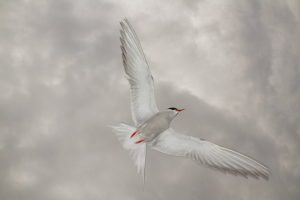 rsHRWide angle tern.jpg