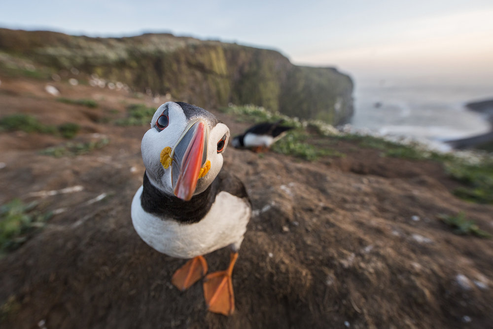 SITE_Atlantic_Puffin_0T2A0448-2.jpg