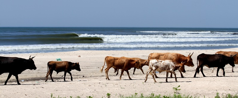 vacas-senegal-surf.jpg