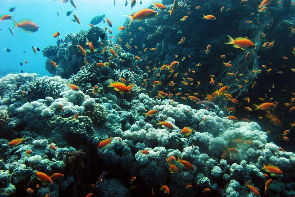 Destino - Uno de los destinos preferidos para realizar un vida a bordo. La ruta Norte del mar Rojo no te defraudará. Visitaremos el estrecho de Gubal, el Parque Nacional de Ras Mohamed, SS Thislegorm y el arrecife de Abu Nuhas con más pecios: Giannis D y Carnatic.