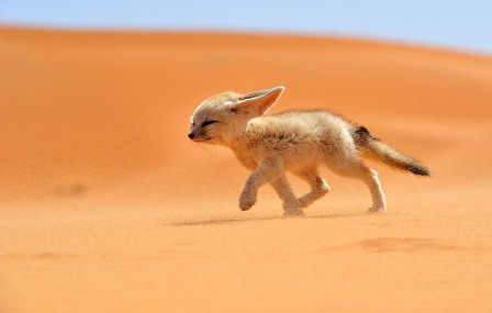 Running Fox.jpg
