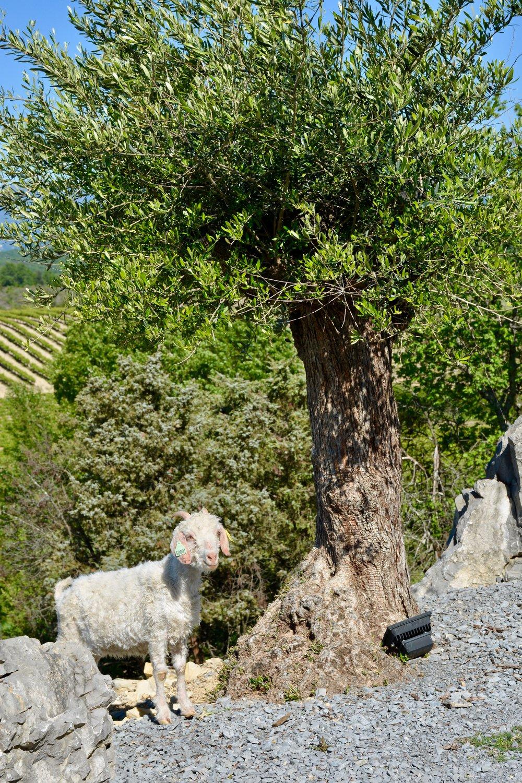CampingLeChamadou-SudArdèche-Balazuc-Ruoms-MiniFerme-TobogganAquatique-Nature-Vignes-Vignobles-Enfants5