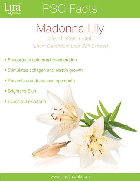 Madonna Lilly.jpg