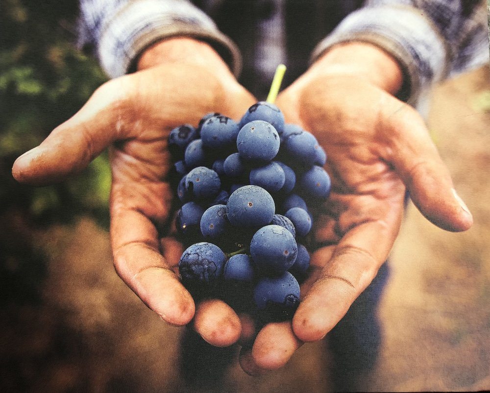 Wine grapes from Sonoma.jpeg