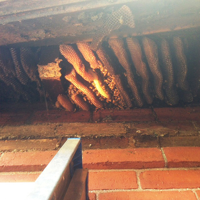 Carniolan bee comb inside the walls of the chapel