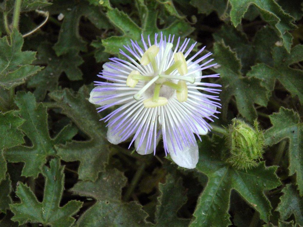Passiflora arizonica.jpg