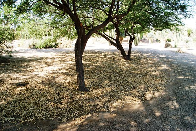 Mesquite Pod Mulch.jpg