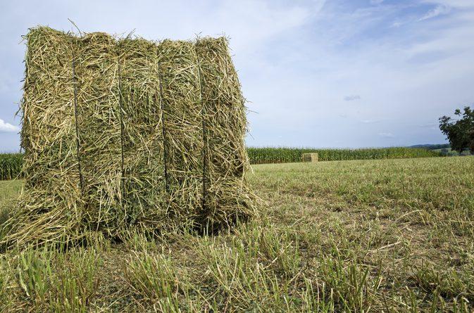 Alfalfa Hay.jpg