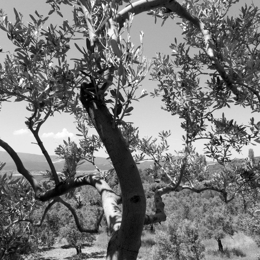 Two hundred year old Armenian olive trees, Yalova, Turkey 2015