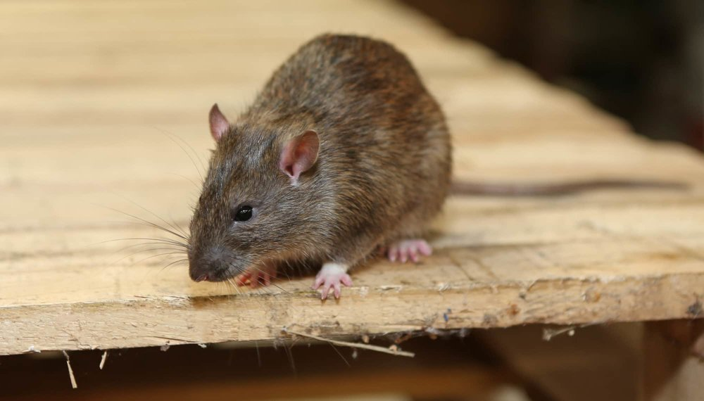 rat-smell-feature.jpg
