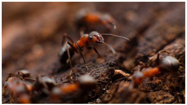 Common household pests ants.jpg
