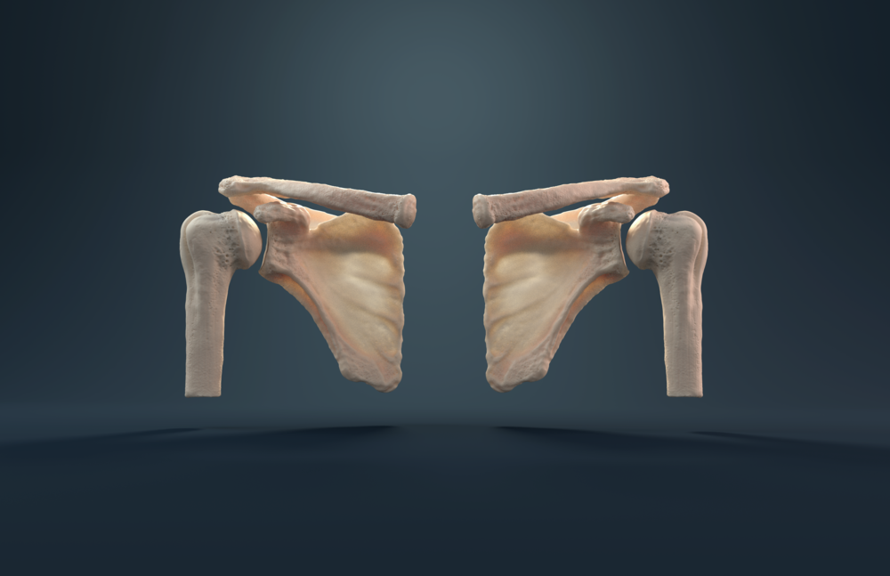 Glenohumeral Joint.png
