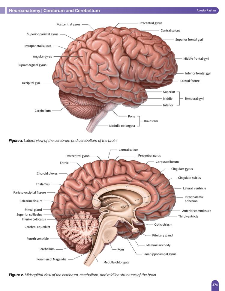The Human Brain — Azuravesta Design