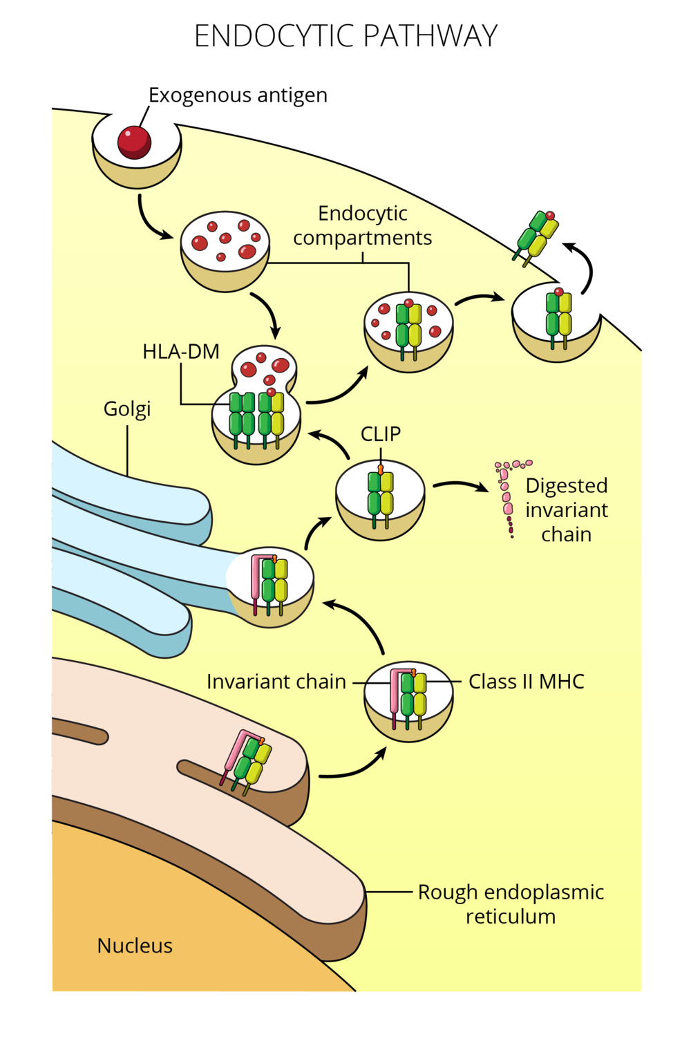 15.03.18_MICR380_M4_Endocytic Pathway.png