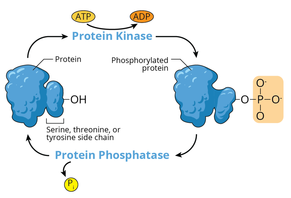 18.08.13_MICR271P_M4_Phosphorylation1.png