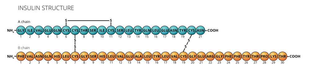 06.19_BCHM 270 Mod 7 Slide 11_Insulin Structure.png