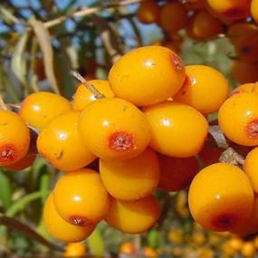 sea_buckthorn-285x285