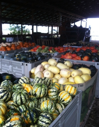 Squash in abundance.  Photo credit Harlequin Produce